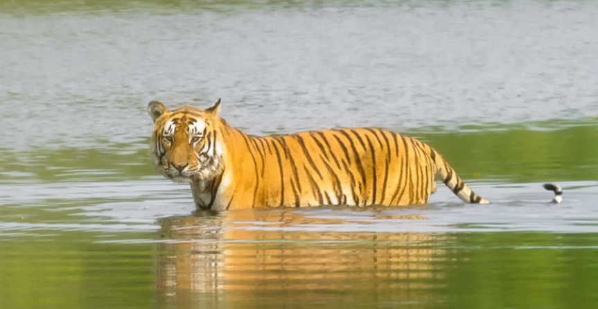 Tiger Tracking Bardia National Park Tour