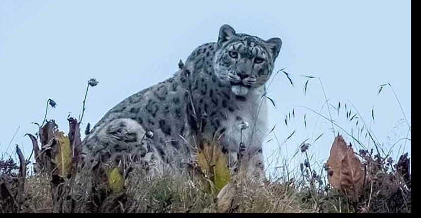 Snow Leopard Encounters tracking trip Nepal