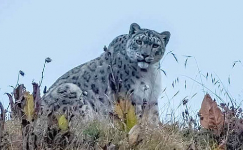 Snow Leopard Encounters tracking trip Nepal